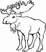 Moose Coloring Drawing Outline Pages Printable Antlers Easy Colouring Drawings Getdrawings Adult Cute Adults Animals Lps Paintingvalley Related Posts sketch template