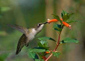 cigar plant hummingbirds the hummingbird forum cuphea schumannii david verity