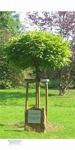 Catalpa Bignonioides Nana : catalpa bignonioide nana trompetenbaum ~ Michelbontemps.com Haus und Dekorationen