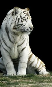 Abe's Animals: Types of different colored tigers