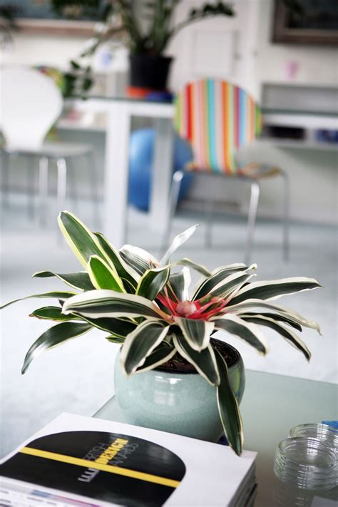 tropical colorful easy care bromeliad plants