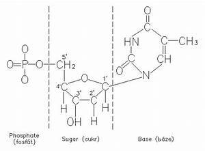 Thymine nucleotides; Thymidine Phosphates