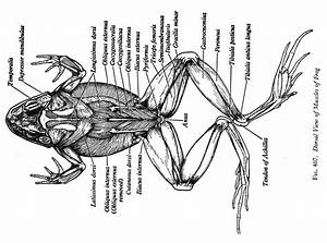 Frog Muscles Dorsal Jpg  1500 U00d71115