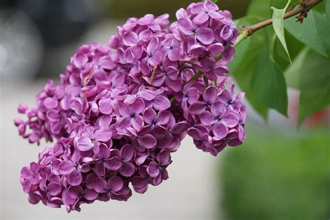 photo lilac blossom bloom spring  image