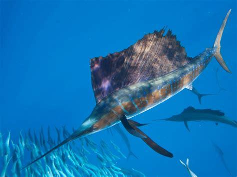 sailfish mexico fish marine life birds