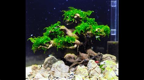 how to make an aquascape bonsai tree aquascape step by step
