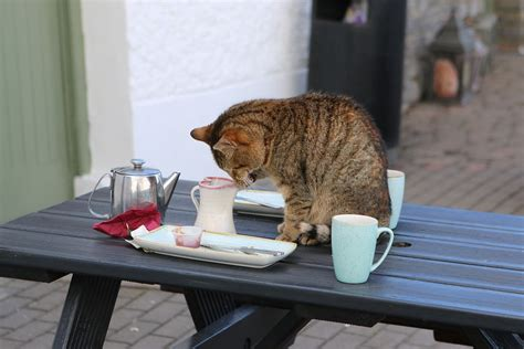 ireland cat coffee  photo  pixabay
