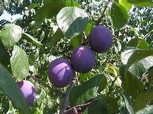 Wann Wird Lavendel Geschnitten : pflaumenbaum bl tter welken und sterben ab was ist das ~ Lizthompson.info Haus und Dekorationen