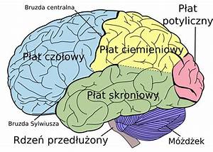 File Brain Diagram Pl Svg