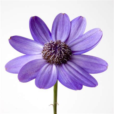 White Flower Background Purple Flower White Background Wallpapersafari