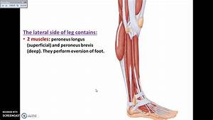 Overview Of Lower Limb  9  - Lateral Side Of Leg - Dr  Ahmed Farid