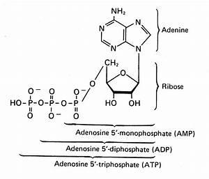 High Energy Molecules In The Cytosol  U2013 Microbiologyprelim