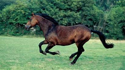 Horse Bay Breeds Cleveland British Learn Should