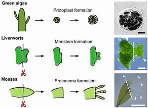 Plant regeneration: cellular origins and molecular ...