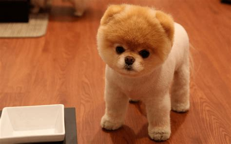wildly cute pomeranian haircut styles  tame  fluff