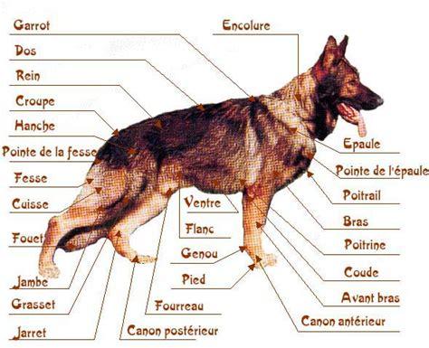 anatomie du chien