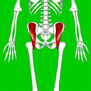 Iliacus muscle - Wikipedia