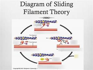 What Happens In The Sliding Filament Theory Of Contraction