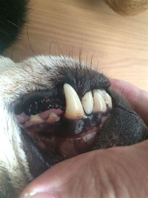 zahnstein beim hund entfernen tiere hunde zahnstein