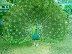 Most Beautiful Peacock In The World Ialoveniinfo