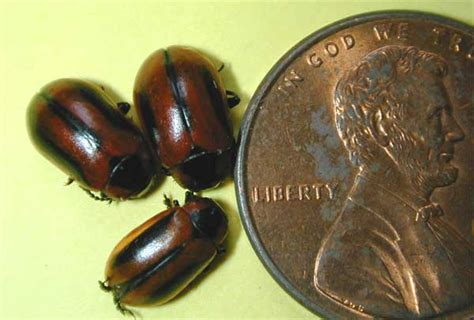 beetles insect id