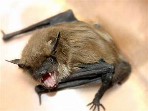 How To Get Rid Of Bats  Bat Facts  U0026 Removal
