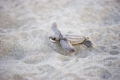 heat ls for baby turtles rising heat at the threatens largest sea turtles