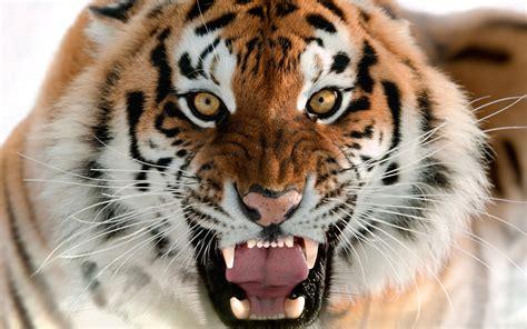 Tiger Wallpaper Screensaver Animals #10872 Wallpaper