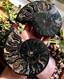 Elegant Black Ammonite Pair from Madagascar | Ancient ...