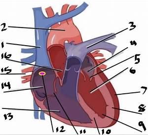 31 Label The Heart Quizlet