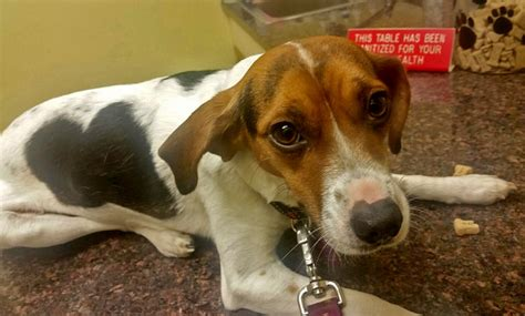 cardiologist removes heartworms beagle mix veterinary