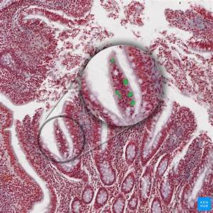 Stomach Histology  Mucosa  Glands And Layers