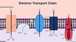 Electron Transport Chain - Biochemistry