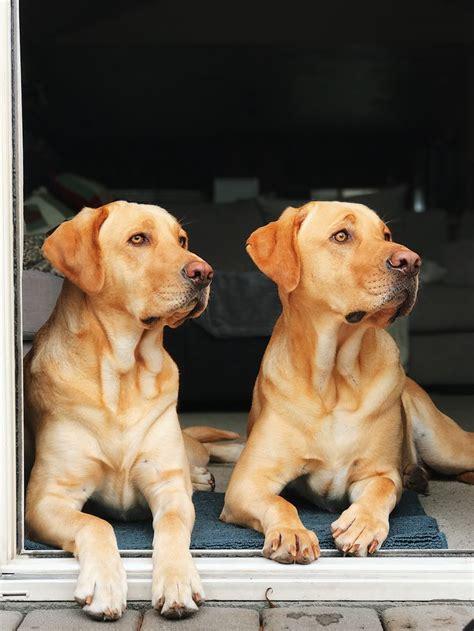 pin  sean mccutcheon  labrador retrievers dogs