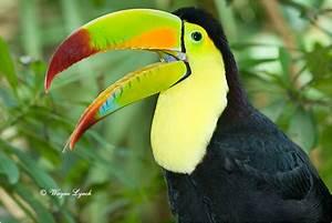 Tropical Rainforest: Tropical Rainforest Toucan