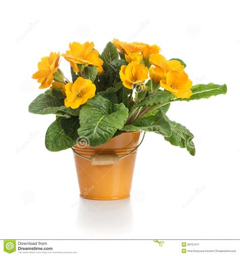 Orange Primroses Stock Image Image Of Object Petal