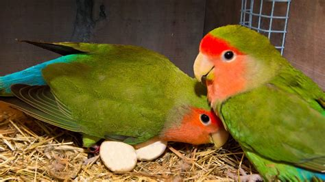 breed  lovebirds youtube