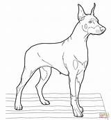 Doberman Coloring Pinscher Pages Drawing Puppy Dogs Realistic Printable Clipart Dog Drawings Draw Puppies Supercoloring Colouring Getdrawings Adult Pincher Sketches sketch template