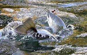 Why Salmon & Steelhead Are One of The Worlds Most ...