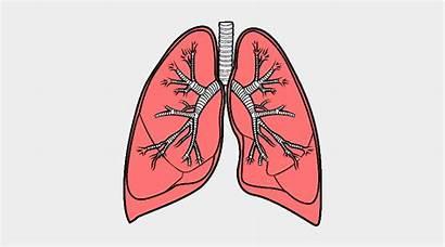 Lungs Bronquios Los Dibujos Clipart Jing Fm