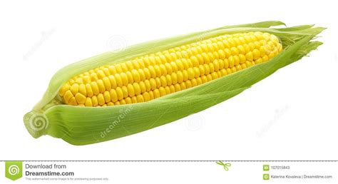 fresh ear  corn isolated  white background stock image