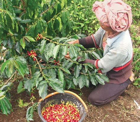 Indonesia Sees the Climate Benefits of Shade Grown Coffee   Human Nature   Conservation