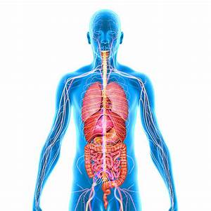 Human Internal Organ Stock Photos  Pictures  U0026 Royalty-free Images