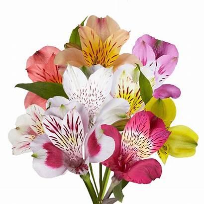 Alstroemeria Flowers Delivered Tomorrow Assorted Globalrose Alstroemerias
