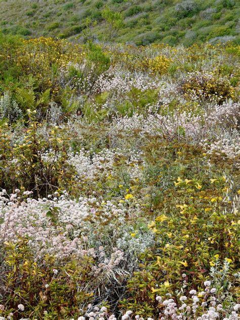 planting flowers in california coastal sage scrub plant community