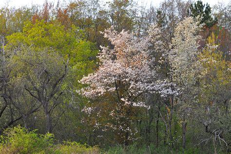 small flowering trees small flowering trees in the landscape serviceberry nick s nature pics