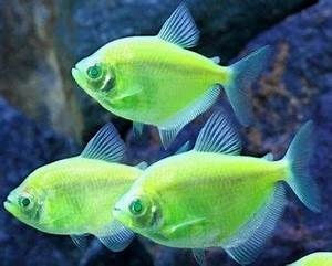 GloFish Electric Green Tetra Just found out through