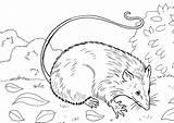Coloring Opossum Skunk Partridge Coloringtop sketch template