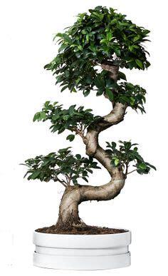 Ikea Bonsai Baum by Pflanze Mit 220 Bertopf Ficus Microcarpa Ginseng Bonsai