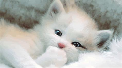 white cats cute black and white kitten wallpaper wallpapers gallery